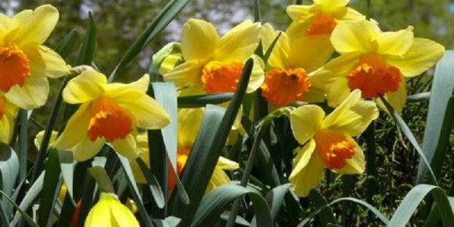 Cvijetom narcisa protiv raka dojke