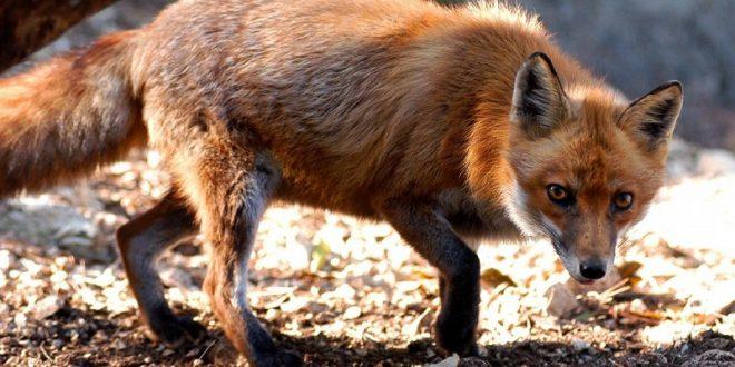 Počela jesenska kampanja oralne vakcinacije lisica